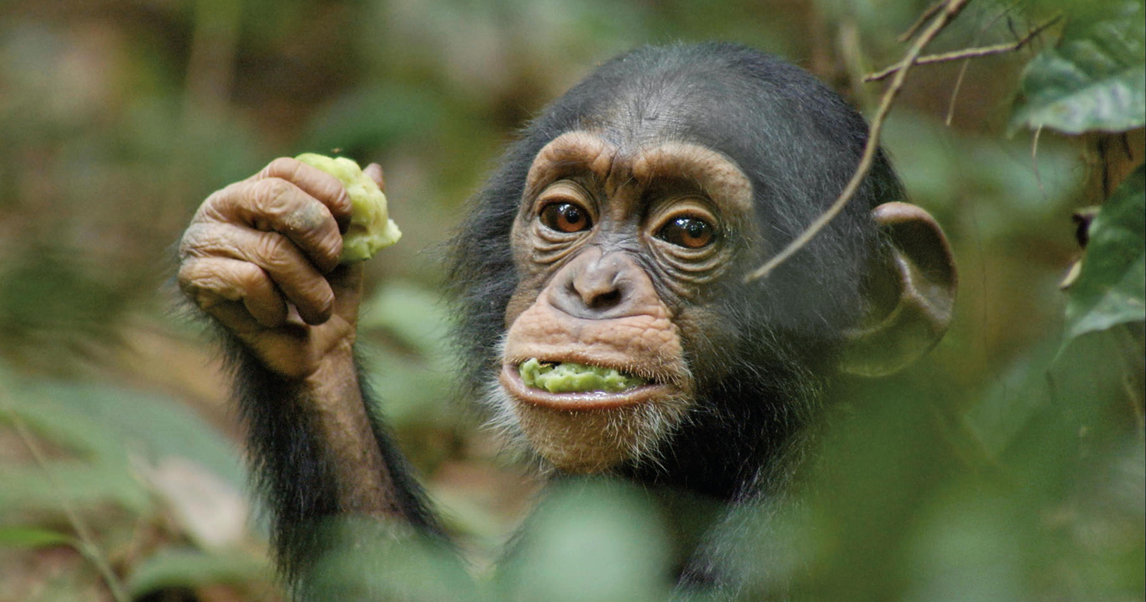 Ahoua ET chimpanzee